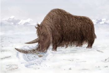 The woolly rhinoceros had a flattened horn that could have been useful for sweeping away snow to reach vegetation. (Julie Naylor, AFP/Getty Images / September 3, 2011)